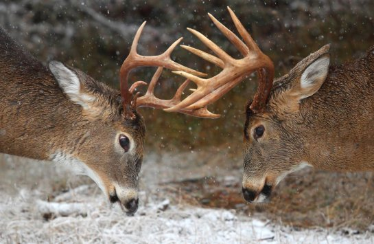 Clash of the Titans (Deer Rut) - Ontario, Canada